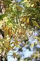 Fraxinu ornus - Jasen (1).jpg