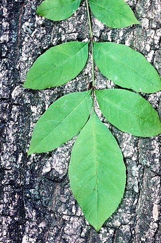 Fraxinus pennsylvanica - Bark and leaf