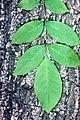 Fraxinus pennsylvanica.jpg
