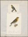 Fringilla serinus - 1700-1880 - Print - Iconographia Zoologica - Special Collections University of Amsterdam - UBA01 IZ16000051.tif