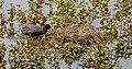Fulica atra - Weingartener Moor 01.jpg