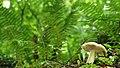 Fungus, Crawfordsburn Glen (12) - geograph.org.uk - 913191.jpg