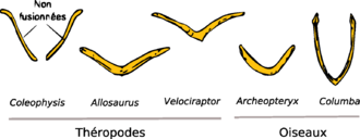 Furcula - Proposed evolutionary model of the furcula