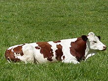 Holstein Friesian cattle - Wikipedia
