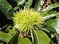 GOC Bengeo to Woodhall Park 131 Sweet Chestnut (Castanea sativa) (8106664856).jpg