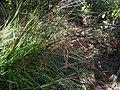 Gahnia pauciflora 11.JPG