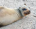 Galápagos Sea Lion (4885190628).jpg