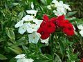 Garden phlox (372188989).jpg