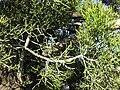 Gardenology.org-IMG 2759 ucla09.jpg