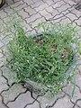 Gardenology.org-IMG 7875 qsbg11mar.jpg