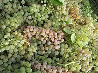 Garganega - Garganega grapes