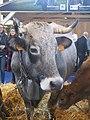 Gasconne vache.jpg