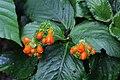 Gasteranthus corallinus (Gesneriaceae) (29276218463).jpg