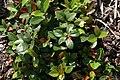 Gaultheria procumbens 6zz.jpg