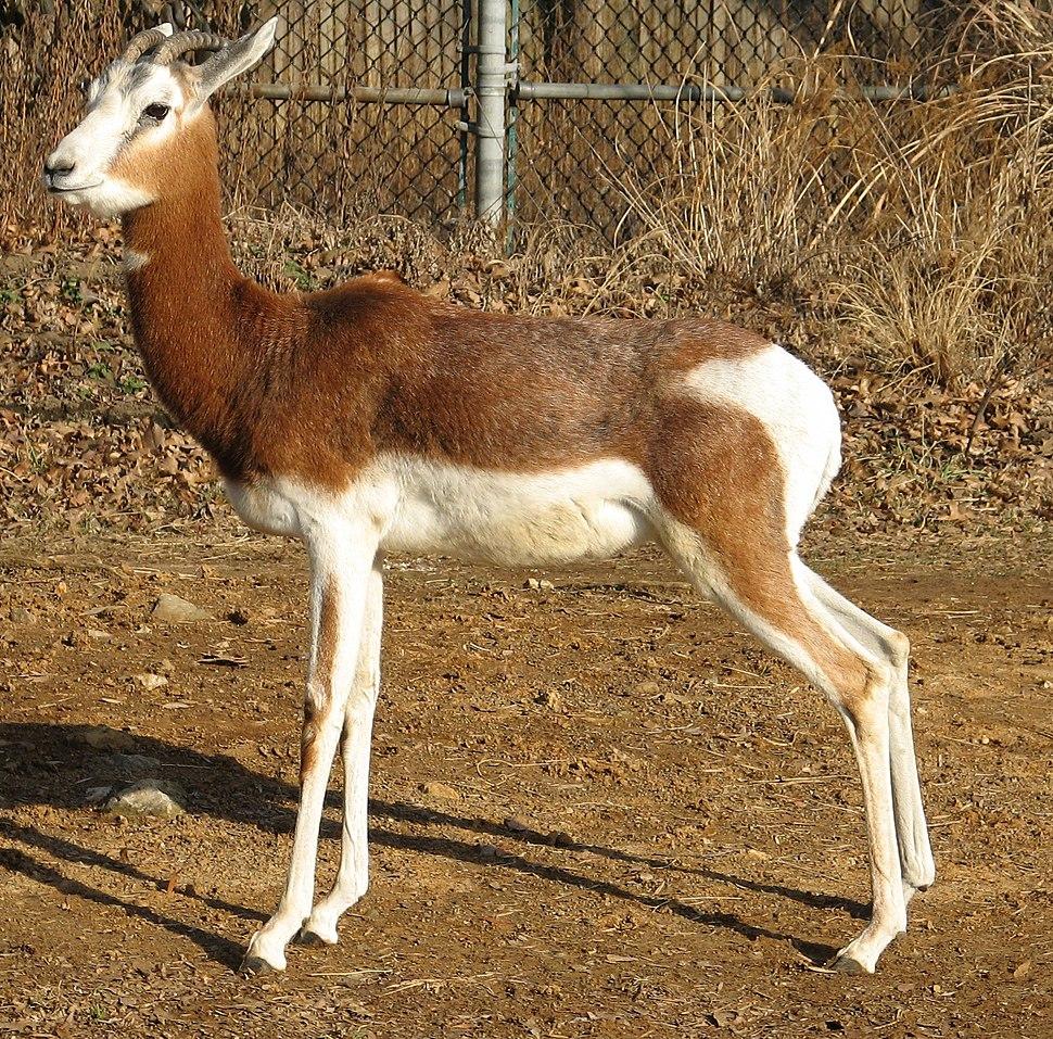 Gazella dama mhorr 2