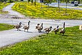 Geese (29344938887).jpg