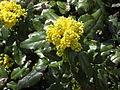 Gelbe Blueten Mahonia.jpg