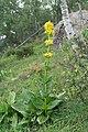 Gentiana lutea fleurs.jpg
