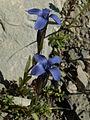 Gentianella campestris07.jpg