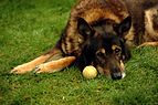 German shepherd wanting to play.JPG