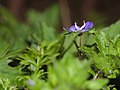 Germander speedwell (32648489234).jpg