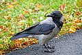 Germany-04431 - Common Crow (30335752935).jpg