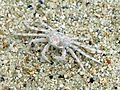 Ghost Crab. Ocypode species - Flickr - gailhampshire.jpg