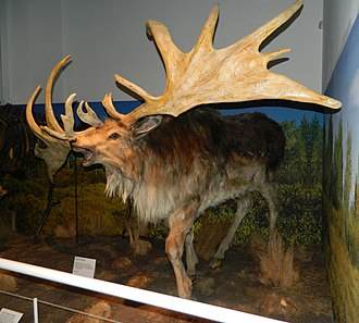 Irish elk - Model in Ulster Museum