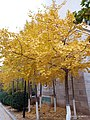 Ginkgo Leaves' Gold Autumn Dream.jpg