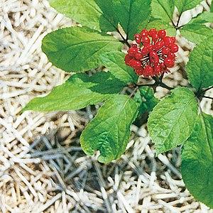 Panax ginseng - Image: Ginsengpflanze