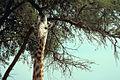 Giraffe (Kopf).jpg