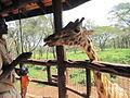 Giraffe Centre worker feeding giraffe.JPG