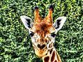 Giraffe in Prague zoo, Czech Republic.jpg