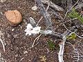Gladiolus debilis Cape Point. (3).jpg