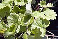 Glechoma hederacea Dappled Light 1zz.jpg