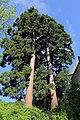 Gloggnitz - Mammutbäume im Schlosspark (2).JPG
