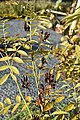 Glycyrrhiza glabra (Zoethout) 3.jpg