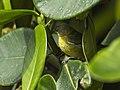 Golden-collared Honeycreeper fem - Colombia S4E3137 (23250278255).jpg
