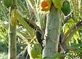 Golden-fronted Woodpecker (16496114576).jpg