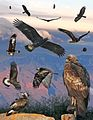 Golden eagle From The Crossley ID Guide Eastern Birds.jpg