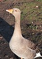 Goose, St James's Park - geograph.org.uk - 1705533.jpg