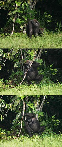 A female gorilla exhibiting tool use by using a tree trunk as a support whilst fishing.