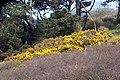 Gorse on the hillside near St. Mawes Castle - geograph.org.uk - 746759.jpg