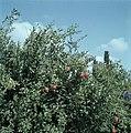 Granaatappelboom met vruchten, Bestanddeelnr 255-9360.jpg