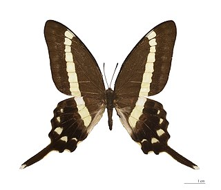 <i>Graphium illyris</i> species of insect
