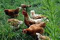 Gratschach Huehnerfarm 02.jpg