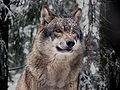 Grauwolf P1130272 new.jpg