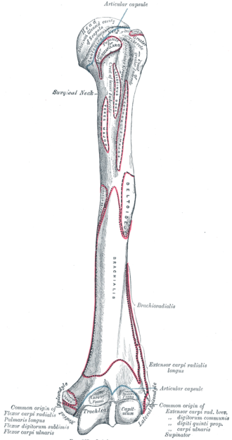 Bicipital groove - Left humerus. Anterior view. (Intertubercular groove visible at top.)