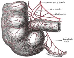 human appendix:  vestigial