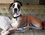 This Dane is fawn mantle, a non-standard color